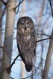 Grande Grey Owl Fotografia Stock