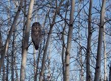 Grande Grey Owl Fotografie Stock