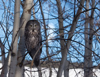 Grande Grey Owl Fotografia Stock Libera da Diritti
