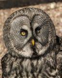 Grande Grey Owl Fotografia de Stock