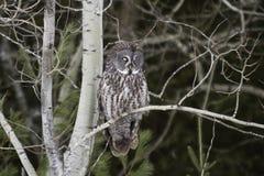Grande Grey Owl appollaiato in una foresta Fotografia Stock