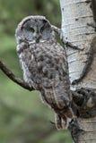 Grande Grey Owl Beautifully Camouflaged foto de stock