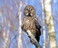 Grande Grey Owl che posa su un albero di betulla immagine stock libera da diritti