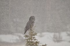 Grande Grey Owl empoleirou-se em uma tempestade canadense do inverno de Rocky Mountain Foto de Stock Royalty Free