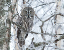 Grande Grey Owl (nebulosa do Strix) Foto de Stock Royalty Free