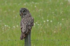 Grande Grey Owl su un recinto Post Fotografia Stock