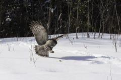 Grande Grey Owl in volo Immagine Stock