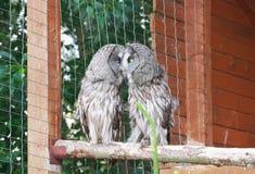 Grande Grey Owls Fotografia de Stock