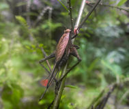 Grande grilo marrom na selva Imagens de Stock Royalty Free