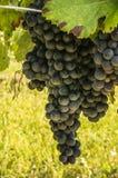 Grande grupo das uvas do vinho tinto prontas para a colheita Foto de Stock
