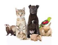 Grande grupo de animais de estimação Isolado no fundo branco fotos de stock