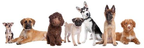 Grande grupo de filhotes de cachorro Foto de Stock Royalty Free