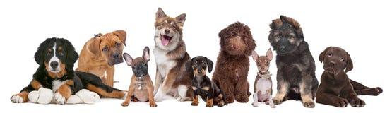 Grande grupo de filhotes de cachorro Imagens de Stock