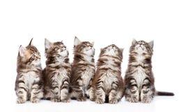 Grande grupo de gatos de racum pequenos de maine que olham acima Isolado Fotos de Stock