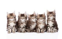 Grande grupo de gatos de racum pequenos de maine que sentam-se na parte dianteira Isolado Imagens de Stock Royalty Free