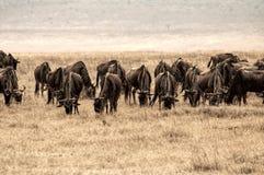 Grande grupo de gnu na cratera de Ngorongoro, Tanzânia, África Imagem de Stock Royalty Free