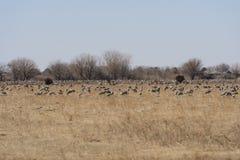 Grande grupo de guindastes em um campo de exploração agrícola Foto de Stock Royalty Free