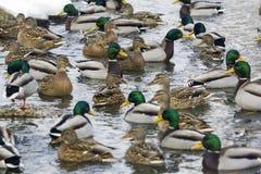 Grande grupo de patos que nadam no rio Imagens de Stock Royalty Free