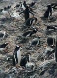Grande grupo de pinguins do gentoo do assentamento imagem de stock