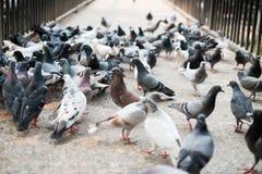 Grande grupo de pombo na rua Fotografia de Stock Royalty Free