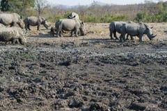 Grande grupo de rinoceronte em um furo molhando fotos de stock royalty free