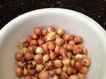 Grande grupo de sementes da cebola Imagem de Stock Royalty Free