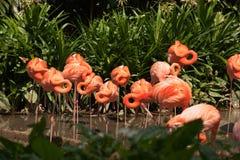 Grande gruppo di fenicotteri rosa che girano le loro teste sulla riva del fiume Fotografie Stock