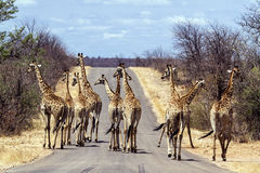 Grande gruppo di giraffe nel parco nazionale di Kruger, Sudafrica fotografie stock