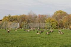 Grande gruppo di oche canadesi Fotografia Stock Libera da Diritti