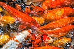 Grande gruppo di raccolta del pesce rosso Fotografia Stock Libera da Diritti