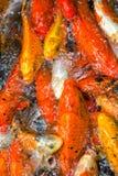 Grande gruppo di raccolta del pesce rosso Immagine Stock