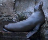 Guarnizione marina Immagine Stock Libera da Diritti
