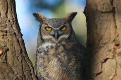 Grande gufo cornuto che fissa nell'albero Fotografie Stock