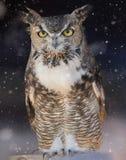 Grande gufo cornuto nella neve Fotografia Stock