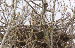 Grande gufo cornuto in nido Fotografia Stock Libera da Diritti