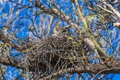 Grande gufo cornuto in un nido Immagini Stock Libere da Diritti