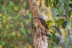 Grande Hawk Cuckoo imaturo, pássaro do falcão da águia que come o sem-fim peludo sobre Foto de Stock