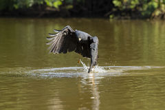 Grande Hawk Grabbing Fish nero in fiume Immagine Stock Libera da Diritti