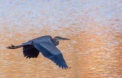 Grande herson blu che sale sopra l'acqua dorata in autunno Fotografia Stock Libera da Diritti