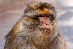 Grande homem, sylvanus do Macaca do macaco de Barbary, Marrocos Imagem de Stock Royalty Free