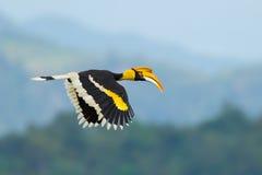 Grande Hornbill fotos de stock royalty free