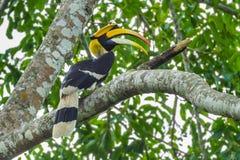 Grande Hornbill Foto de Stock Royalty Free