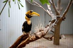 Grande Hornbill Fotografia de Stock Royalty Free