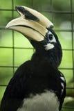 Hornbill pezzato del sud fotografia stock libera da diritti