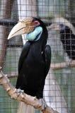 """Grande Hornbill, grande tamanho 95†""""130 cm 37†""""do pássaro 51 polegadas de comprimento Imagem de Stock"""