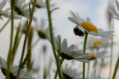 Grande hoverfly nascondersi sotto un fiore della margherita fotografia stock