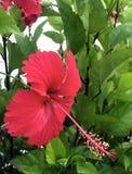 Grande ibisco rosso del fiore dell'ibisco fotografie stock
