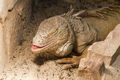 Grande iguana Immagini Stock Libere da Diritti