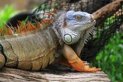 Grande iguana Fotografie Stock