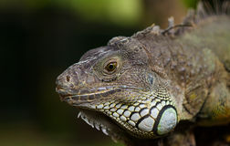 Grande iguana Immagine Stock